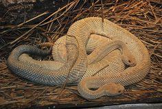 Aruba Island Rattlesnake - Crotalus durissus unicolor