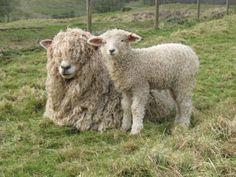 ♥ ~ ♥ Sheep ♥ ~ ♥ Risby Grange Longwools, A flock of Lincoln Longwools in the Lincolnshire Wolds Baa Baa Sheep, Sheep Breeds, Sheep And Lamb, Super Cute Animals, Animal 2, Farm Yard, Sheep Wool, Llama Alpaca, Livestock