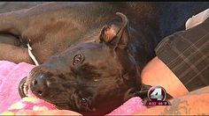 BUGATTI ~N FT MYERS, Fla. -- Bugatti suffered blunt force trauma to the head, leaving him paralyzed from the neck down. The owners believe he was the victim of a long dispute with a neighbor. An investigation is underway. But Bugatti needs our help! Cost will be huge. I gave. PLEASE GIVE:http://www.gofundme.com/9aykws SAVE HIS LIFE!
