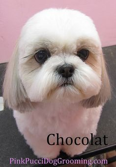 Cocolat the Shih Tzu Japanese Style Cut by PinkPucciDogGrooming, via Flickr