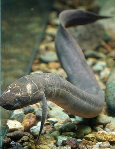 Spotted African Lungfish (Protopterus dolloi) Двоякодышащие рыбы