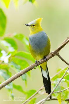 Long-tailed Silky-Flycatcher - pretty yellow bird!