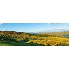 Vineyard Keuka Lake Finger Lakes New York State USA Canvas Art - Panoramic Images (36 x 12)