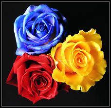 Image result for blue yellow and red rose
