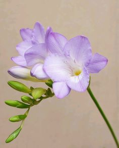 Freesia by Craig Beveridge, via (non flower plants) Amazing Flowers, Purple Flowers, Beautiful Flowers, Fresia Flower, Orchid Care, Sugar Flowers, Flower Art, Planting Flowers, Flower Plants