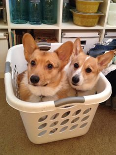 Corgis and laundry baskets are a hilarious combination. Submitted by Marley