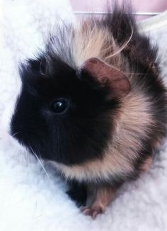 Small Big Happy :-) quinea pig