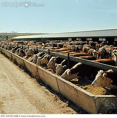 cows eating feed feedlot illinois
