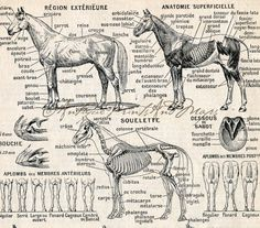 Antique Print Horses Equine Anatomy by AntiquePrintsAndMaps, $8.00