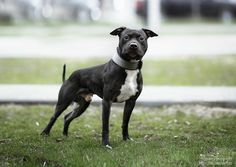 Garner's Polkan 2 Years Old Breed ➡️ AMERICAN PIT BULL TERRIER From @baskak_kennel, #Russia 🇷🇺 American Pit, Pitbull Terrier, Pit Bull, Russia, Dogs, Animals, Pitbull, Animales, Animaux
