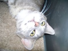 Rico the clown is an adoptable Domestic Short Hair-Gray Cat in Shelbyville, IN. Rico is a stray that was brought into the animal shelter on Saturday, July 20 from South Tucker Road in Fountaintown.� R...