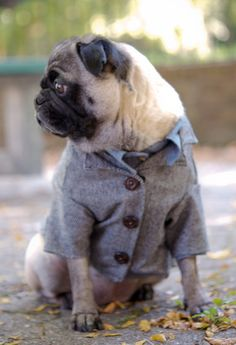 What a fashionable pug.