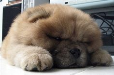 1. When they're puppies, they look like little squished loaves of bread. | 12 Reasons Why Chow Chows Are Underrated