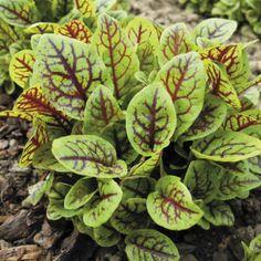 Sorrel-Perennial-Garden