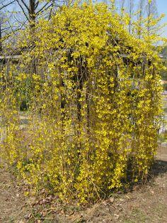 Forsythia suspensa - forsythia (hängforsythia)