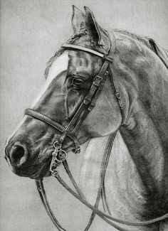 Hunt Seat Quarter Horse by Sara Cuthbert Horse Pencil Drawing, Horse Drawings, Animal Drawings, Art Drawings, Pencil Drawings, Quarter Horse, Arte Equina, Hunt Seat, Horse Sketch