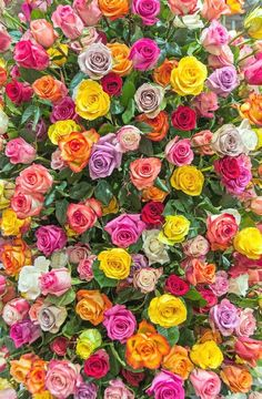 flowers, rose, and wallpaper Bild Beautiful Flowers Wallpapers, Beautiful Rose Flowers, Exotic Flowers, My Flower, Pretty Flowers, Flower Phone Wallpaper, Flower Wallpaper, Flower Backgrounds, Wallpaper Backgrounds