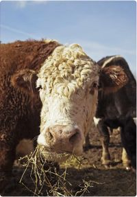 Jefferson was sold by the pound at a local livestock auction and eventually found himself being loaded onto a truck destined for a slaughterhouse in Detroit. Like millions of other animals every year raised as food, his short life was about to come to a terrible, brutal end. But Jefferson did something that touched the hearts of thousands of people: He ran.