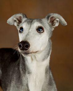Greyhound Love the ears.... like folded dinner napkins