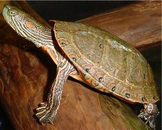 Trachemys ornata Red Ear Turtle, Turtle Love, Native American Legends, Turtle Swimming, Terrapin, Tortoises, Lizards, Mans Best Friend, Turtles