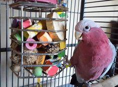 Turn Your Parrots Treat Cage Into an Enrichment Powerhouse. Cockatoo Toys, Galah Cockatoo, Parrot Pet, Parrot Toys, Budgies, Parrots, Cockatiel, Diy Bird Toys, Homemade Bird Toys