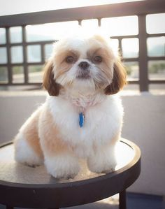Style 3 – Teddy Bear Shih Tzu haircut Now, this style is very easy and will make your canine hairball look like stuffed toy. This& The post Style 3 – Teddy Bear Shih Tzu haircut Now, this style is very easy and wil& appeared first on Coulson Puppies. Perro Shih Tzu, Shih Tzu Hund, Shih Tzu Puppy, Shih Tzus, Shih Poo, Dog Grooming Styles, Cat Grooming, Shitzu Puppies, Dogs And Puppies