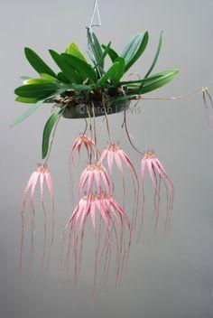 Orchid Bulbophyllum Elizabeth-Ann Buckleberry fccaos