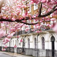 Cherry blossoms in London