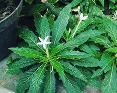 Tiga Tanaman Ini Bisa Menjadi Obat Herbal Untuk Penyakit Mata Katarak Herbal Plants, Medicinal Plants, Herbal Leaves, All About Plants, Herbalife, At Home Workouts, Health Tips, Plant Leaves, Remedies
