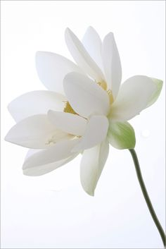"Is there anything purer than a white flower? Mashaallah  ""Lotus Flower"" by Bahman Farzad on flickr"