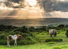 Wild Dartmoor Ponies  #BritainsOceanCity#Plymouth#Dartmoor #lovedartmoor#wanderlust #gooutdoors#nationaltrust#swisbest #horsestagram #devonlife #visitbritain #lovefordevon #ilovesouthdevon #ukpotd#horse #pony #wildlife