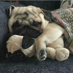 Adorable Pugs need their beauty sleep. Now it's time for us to take a look at something that will make us all smile…Pugs sleeping in hilarious positions. Cute Pug Puppies, Black Pug Puppies, Cute Dogs, Dogs And Puppies, Terrier Puppies, Bulldog Puppies, Boston Terrier, Small Puppies, Doggies