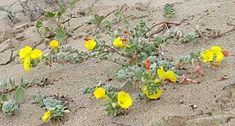 Beach Suncups (camissoniopsis cheiranthifolia): Camissoniopsis cheiranthifolia (beach suncup or beach evening primrose) is a species of the evening primrose family and is native to open dunes and sandy soils of coastal California and Oregon.  The beach suncup grows prostrate along the beach surface, forming mats more than 1 m across. It forms long stems growing from a central crown, lined with silvery grey-green leaves. The prostrate form and swinging stems allow the plant to survive well on…