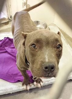 She is super cute but super skinny and already had her ears cut. This sweet little lady needs help. Please take a look at her Video and SHARE, a FOSTER would save her life. Thanks!  #A4783135 I'm an approximately 10 month old female pit bull. I am not yet spayed. https://www.facebook.com/171850219654287/photos/pb.171850219654287.-2207520000.1418340561./343432425829398/?type=3&theater