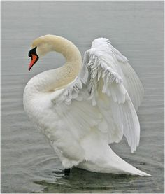 крылья лебедя - Pesquisa Google