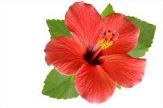 Flores Hibiscos