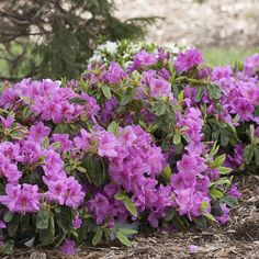 Bloom-a-Thon® Lavender Azalea | Rhododendron X https://www.provenwinners.com/plants/rhododendron/bloom-thon-lavender-reblooming-azalea-rhododendron-x
