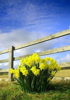 Daffodils-Wales national flower
