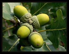 acorns green