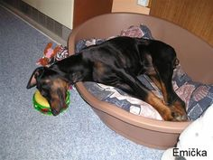lol once you get a Doberman you'll understand the funny part to this picture