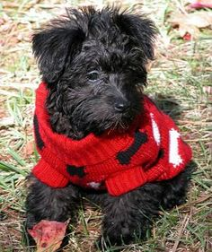 schnoodle puppies...Looks close to one of my puppies...CHLOE:):)