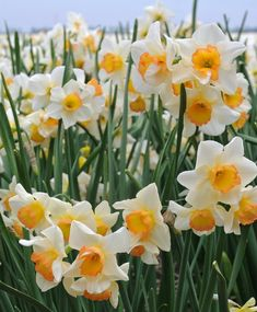 Narcissus Yazz - Jonquilla Narcissi - Narcissi - Flower Bulb Index Yellow Cups, Pink Cups, Colored Light Bulbs, Light Colors, Narcissus Flower, Daffodil Flowers, Daffodils, Tulips, Light Bulb Plant