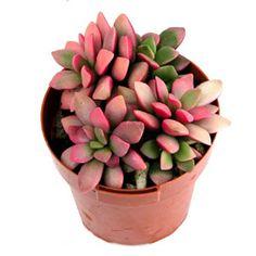 Anacampseros telephiastrum variegata - colorful succulent