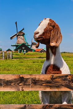 """A Boer goat in the Netherlands - #goatvet smiled when she read the title """" Typical Dutch goat! 