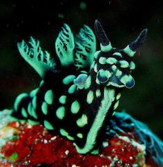 Nembrotha cristata is a species of colorful sea slug, a dorid nudibranch, a marine gastropod mollusk in the family Polyceridae. I want to crochet a version of this handsome little guy Beautiful Sea Creatures, Deep Sea Creatures, Animals Beautiful, Deep Sea Animals, Underwater Creatures, Underwater Life, Sea Snail, Sea Slug, Tropical Fish