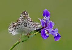 Savannah Sparrow and Iris
