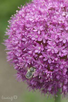 LÖwin.g: Allium Zierlauch Kugellauch
