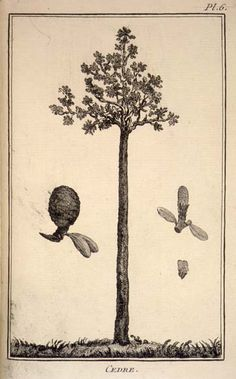 Eighteenth-century European explorers took great interest in the new plants and animals they found. Some likened the kauri tree to the northern hemisphere cedar. This drawing of a kauri tree, with the female and male cones on either side, was made by an unknown artist and published in Frenchman Julien Crozet's 1783 book Voyage à la mer du sud. Crozet was the second-in-command on explorer Marc Joseph Marion du Fresne's voyage to New Zealand in 1771–72.