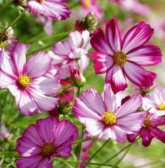 Cosmos Seeds - Picotee Cosmos bipinnatus HEIRLOOM COSMOS SEEDS - On Sale Now...by the Packet or in Bulk!