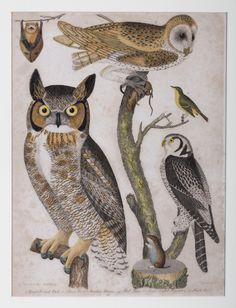from American Ornithology~ Alexander Wilson, 1808